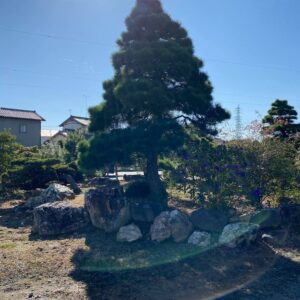 Tùng la hán Nhật Bản 4730